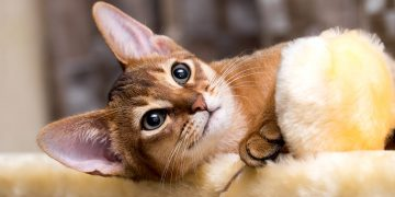 An abyssinian cat lying on side