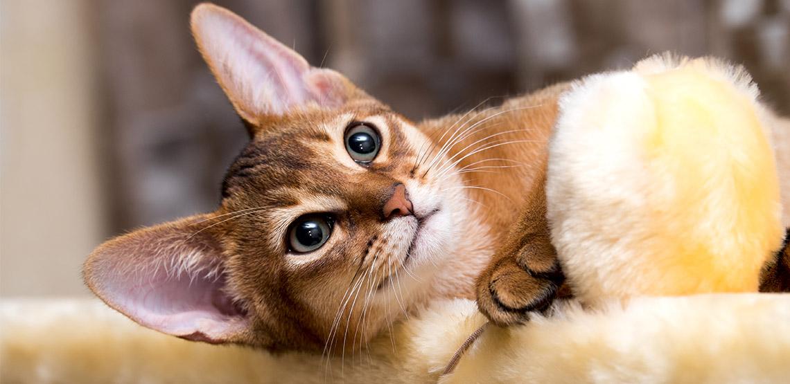 An abyssinian cat lying on side