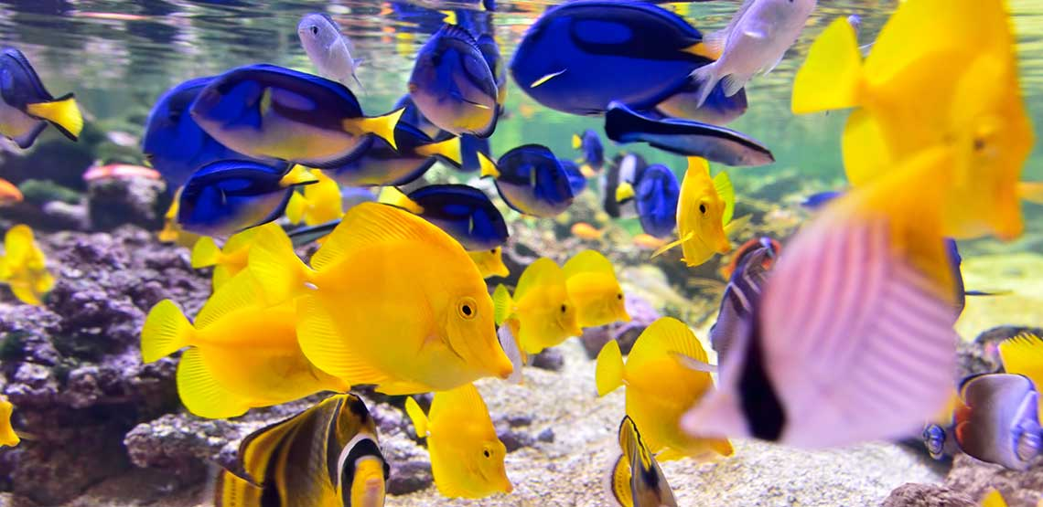 Yellow and blue fish swimming in a fish tank.