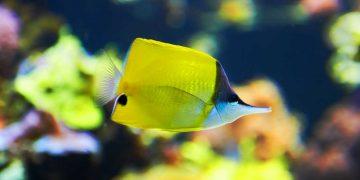 A yellow fish swimming.