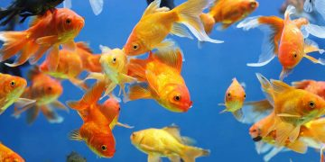 Goldfish swimming in a fish tank.