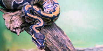 A ball python snake on a branch.