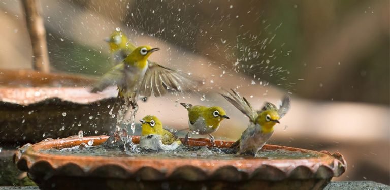 Birds in bird bath, splashing around
