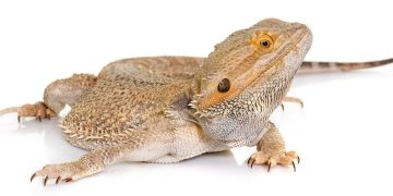 Bearded dragon on white backdrop
