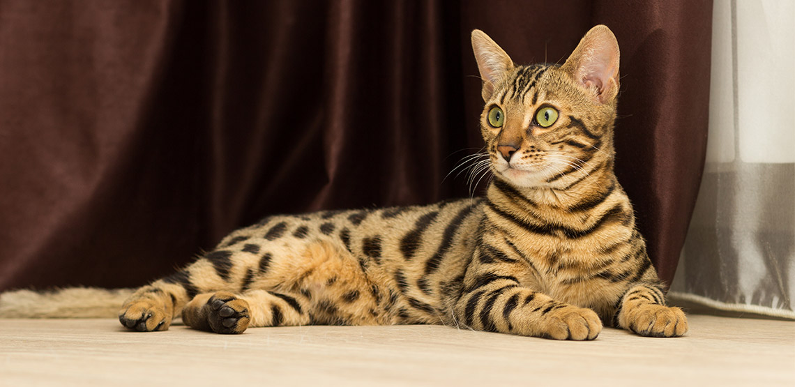 A Bengal cat lounges on the floor