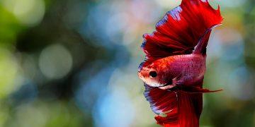 Red Betta fish in tank