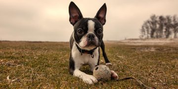 A Boston terrier sitting in field with ball.
