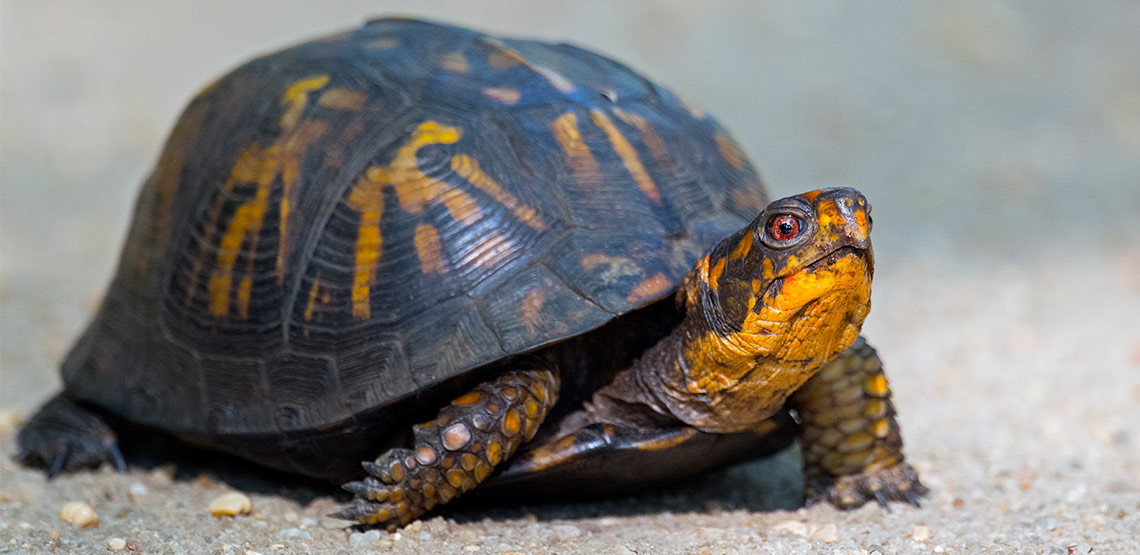 Box turtle with head raised