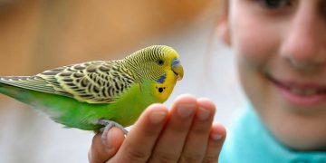 A pet bird sitting on its owner's hand.