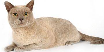 Burmese cat lying down