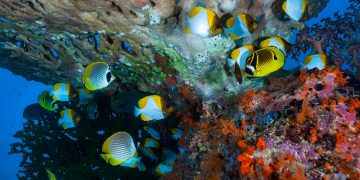 School of butterfly fish in front of coral reef