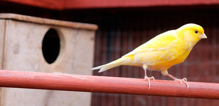 Canary sitting on a perch