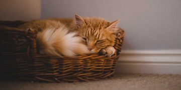 An orange cat sleeping in its bed.
