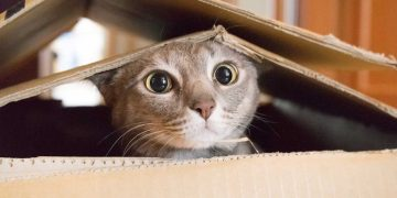 A cat playing in a cardboard box.