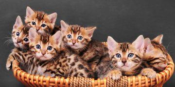 Kittens sitting in a basket.