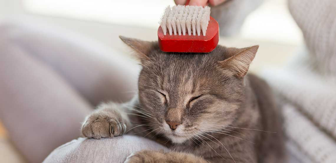A cat being brushed by its owner.
