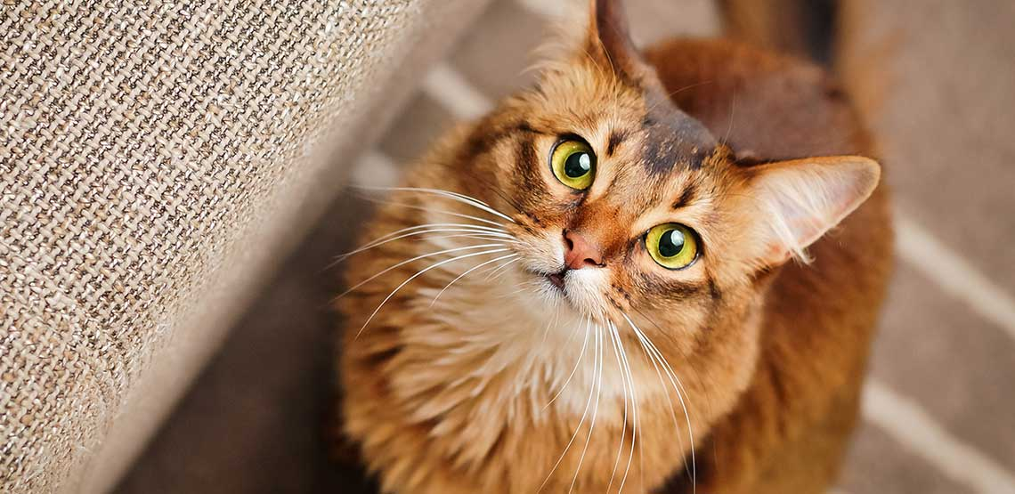 An orange cat looking up into the camera.
