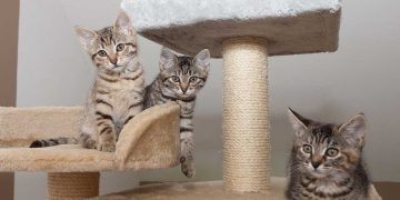 Three kittens sitting on their cat furniture.