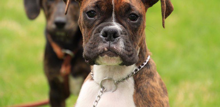 Dog wearing chain slip collar
