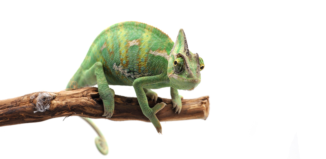 Chameleon sitting on a branch