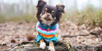 Chihuahua in a knitted sweater lying on a log