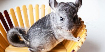 Chinchilla sitting in a wooden bowl