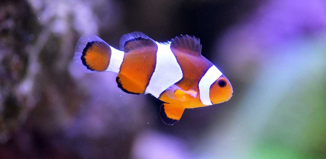 A clown fish swimming in saltwater.