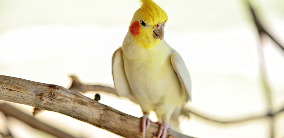 Cockatiel sits on a perch in a cage