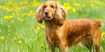 A Cocker Spaniel standing in a field with yellow flowers.