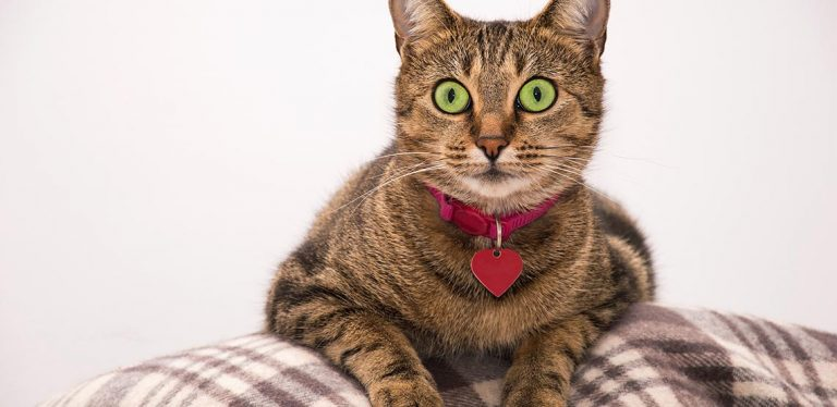Cat wearing pink collar with a heart on it