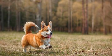 Corgi dog running in field