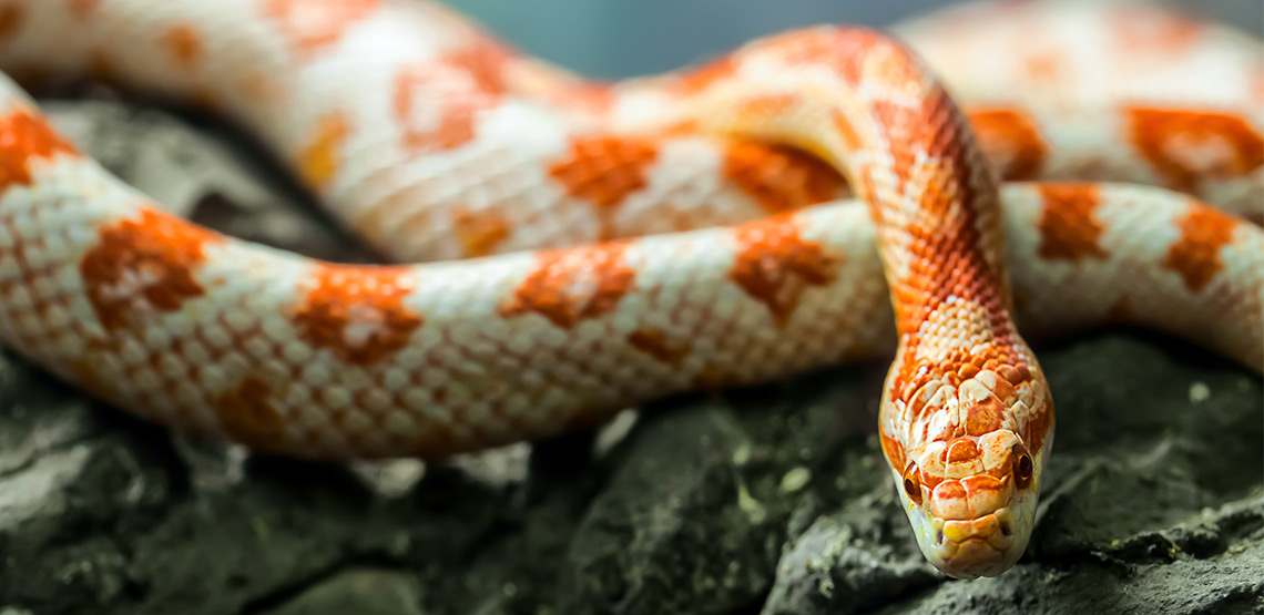 Corn snake on a log