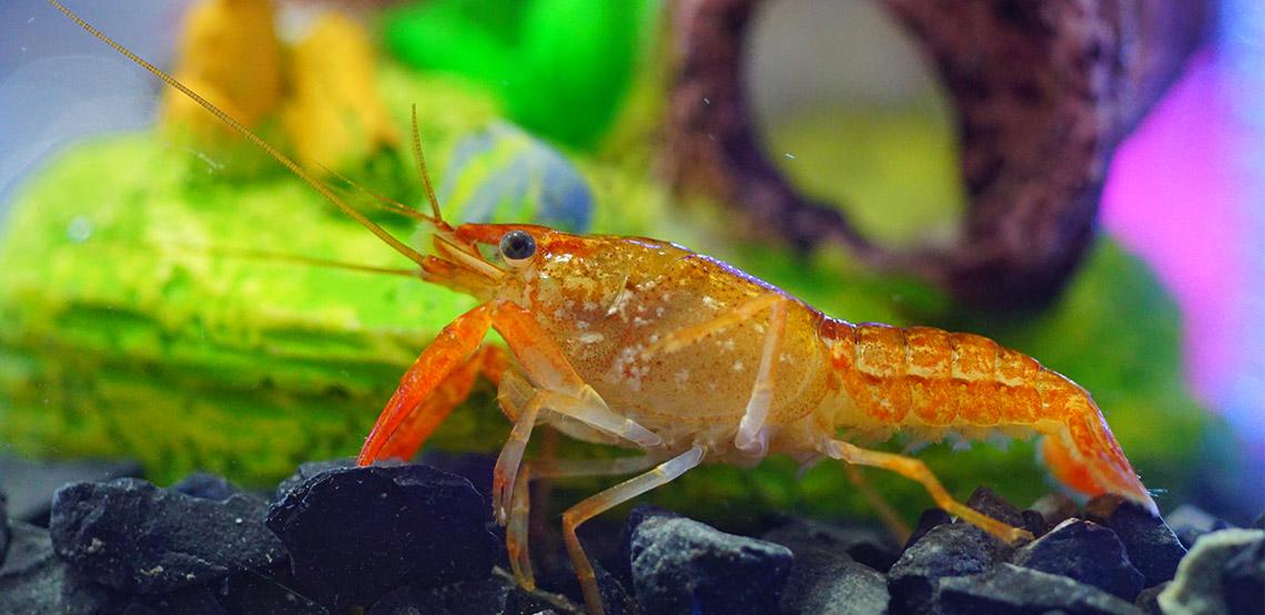 Crayfish sitting on bottom of tank
