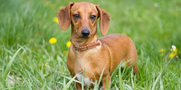 Dachshund dog standing in long grass