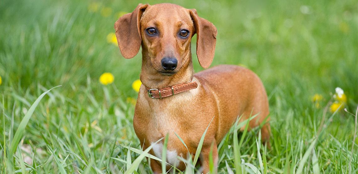 Dachshund dog standing in long grass
