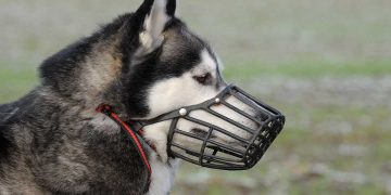 A husky wearing a dog muzzle.