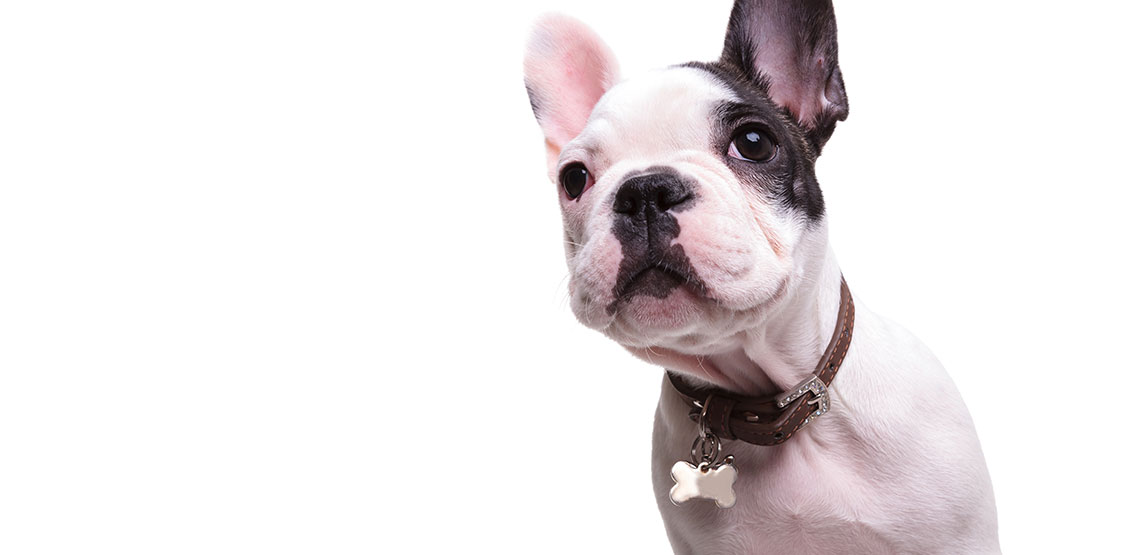 Bulldog with collar and name tag