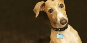 An italian greyhound wearing blue dog tags.