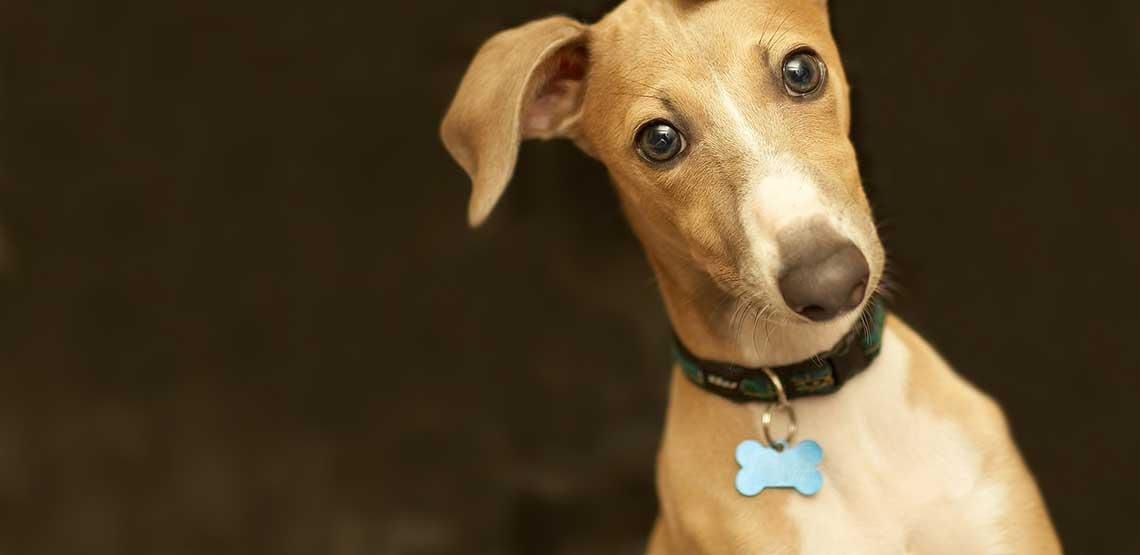 An italian greyhound wearing blue dog tags.