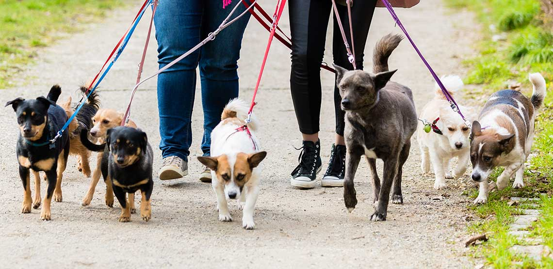 Six dogs being walked down a path.