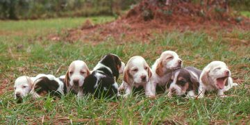 Basset hound puppies in a row in the grass