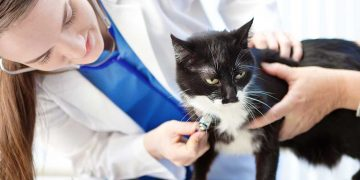 A black and white cat having a check up at the vet's office.