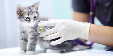 A kitten getting a check-up at the vet.