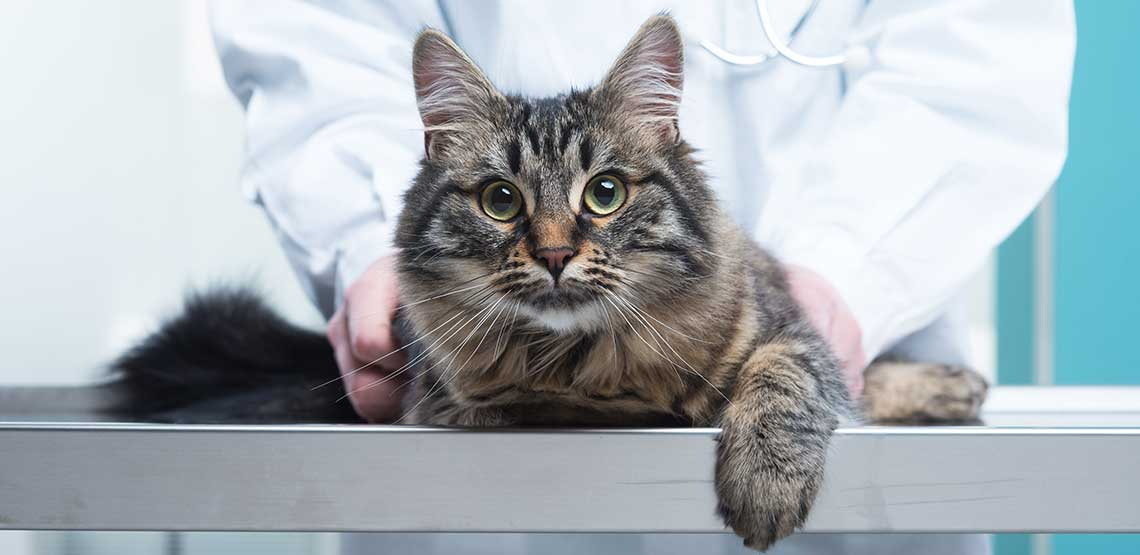 A grey cat sitting on the counter in a vet's office.