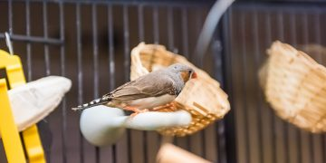 Finch on a perch in a cage