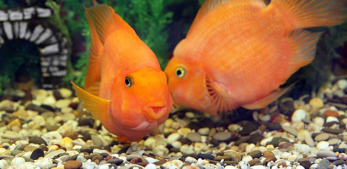 Two parrot fish swimming in a fish tank.
