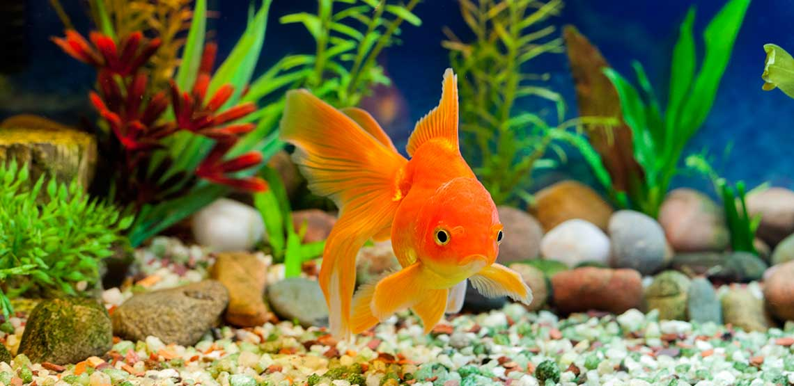 A goldfish in a freshwater aquarium