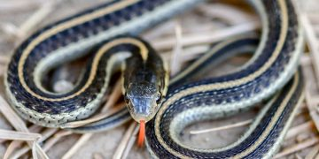 Garter snake on ground.