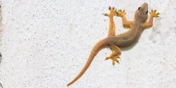 Gecko climbing a wall