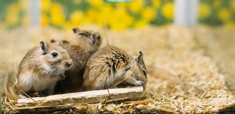 Three gerbils chewing on a stick